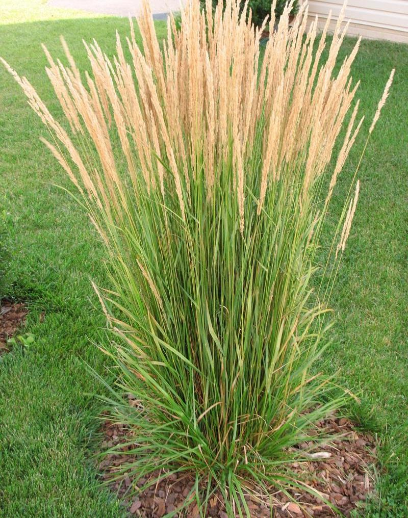 Cool Season Ornamental Grasses