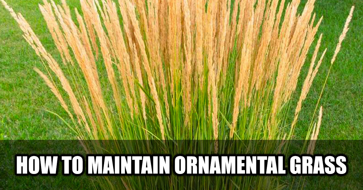 How to Maintain Ornamental Grass in Edmonton